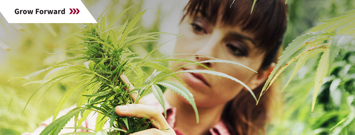 Woman working on cannabis plant