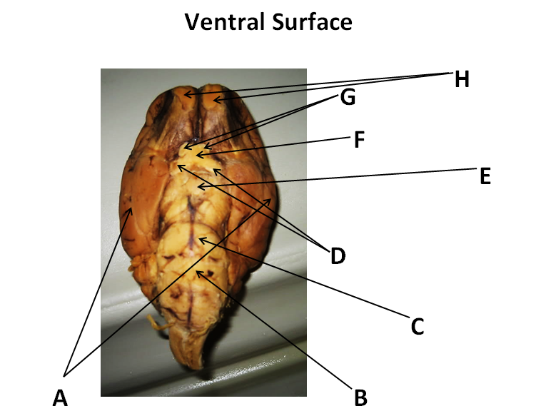 Ventral Surface