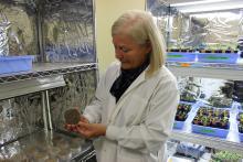 Dr. Deborah Henderson inspects a petri dish with fungi or trichoderma.